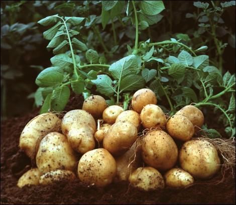 Qui commercialise la nouvelle patate OGM ?