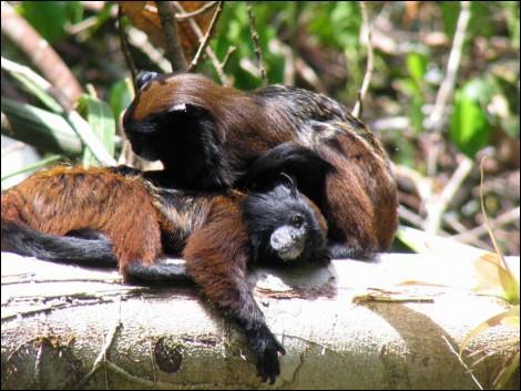 Les tamarins aident à reboiser la forêt amazonienne. Comment ?