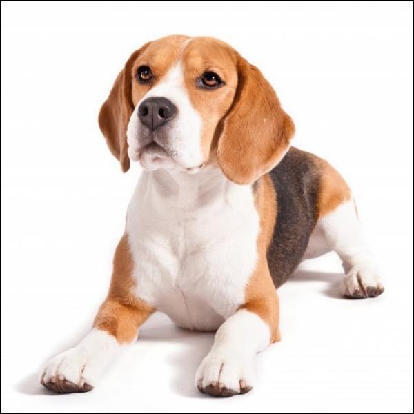 Identifiez la race de ce chien.