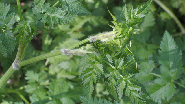 Cette plante semble être délicieuse, mais attention, elle peut être confondue avec deux autres, beaucoup moins sympathiques, donc si le sujet vous intéresse, lisez attentivement le lien qui suit la réponse !