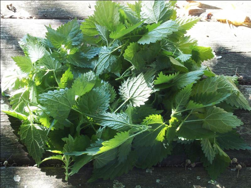 Cueillez les feuilles du haut, elles sont tendres et ce sont les meilleures !