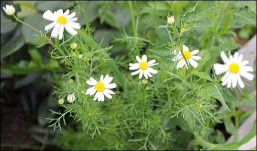 Nos anciens avaient l'habitude d'en faire de la tisane, mais cette plante fleurie a bien d'autres propriétés !