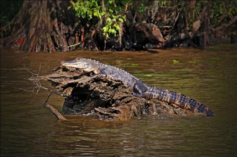Quel crocodilien vit dans ces étendues d'eau ?