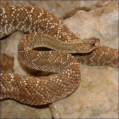 Le crotale, dont la morsure est généralement mortelle, est aussi appelé ''serpent à sonnette'' à cause ...