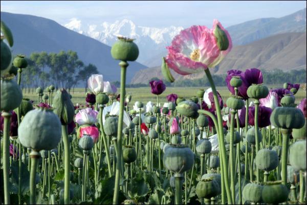 Avec laquelle de ces plantes ne fabrique-t-on pas de fibres textiles ?