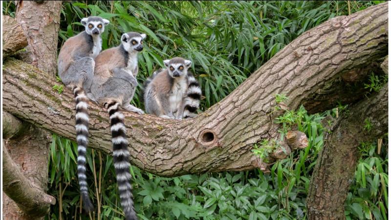 Quels sont ces animaux endémiques de Madagascar ?