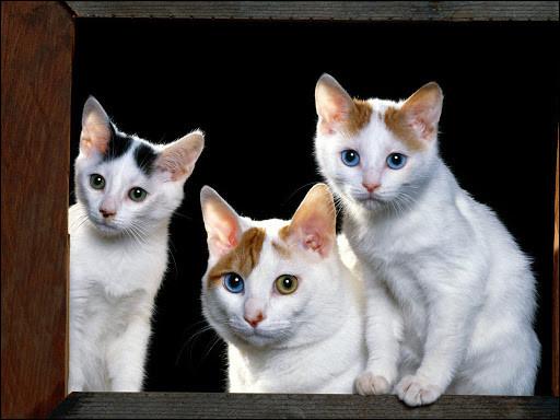 Quelle est la race de ces chats ?
