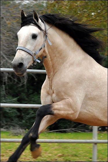 Ce cheval est un...