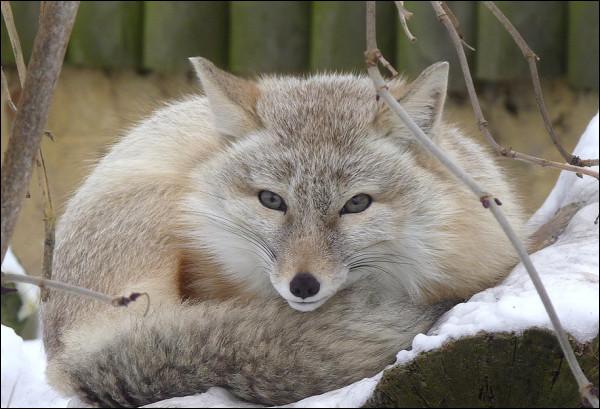 De quelle espèce est ce renard ?