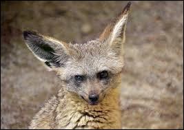 Quelle est l'espèce de ce renard ?
