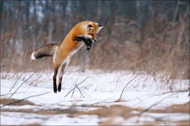 Quel est le petit du renard ?
