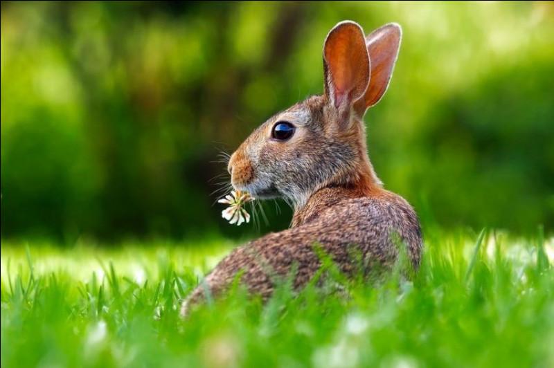Le lapin :