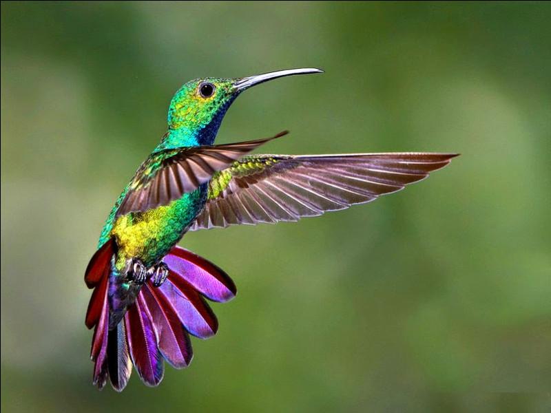 Identifiez le cri du colibri.