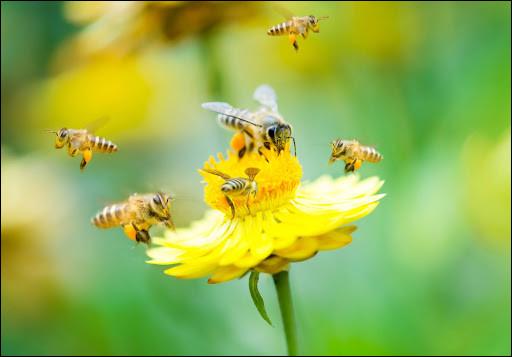 Quel est le petit de l'abeille ?