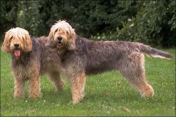 Quelle est la race de ce gros chien ?