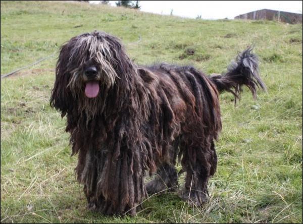 Comment s'appelle la race de ce chien ?