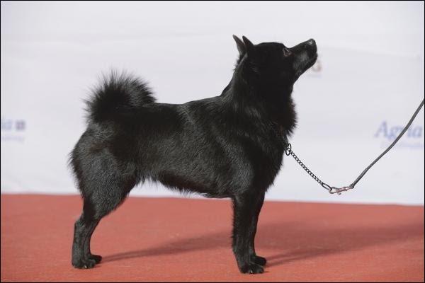 Comment se nomme la race de ce chien ?