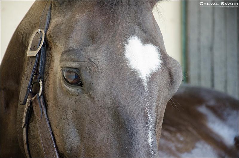 Observez ce cheval. Qu'a-t-il sur le chanfrein ?