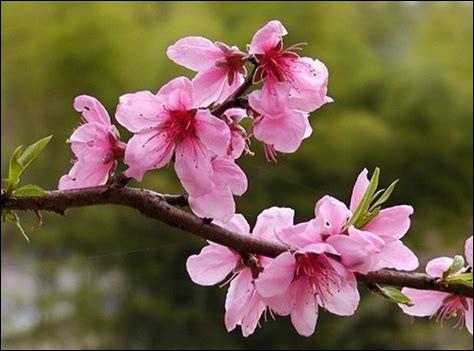 De quels fruits juteux et parfumés ces jolies fleurs roses sont-elles à l'origine ?