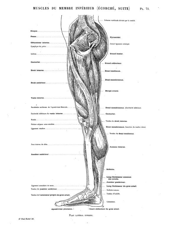 Innervation du membre inférieur