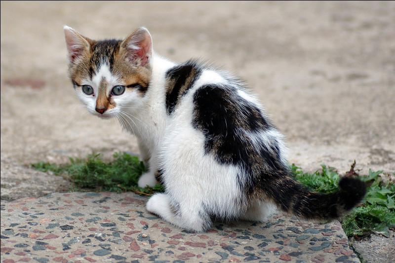 Peut-on avoir un félin chez nous (serval, caracal, chat du désert, etc.) ?