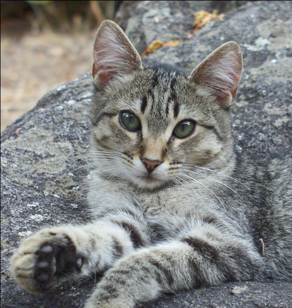 Cliquez sur l'image d'un chat en colère.