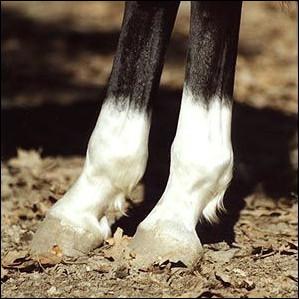 Quelle est la balzane de ce cheval ?