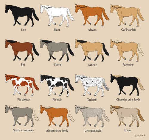 Chevaux et poneys : robes et marques