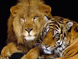 Tigre ou lion ?