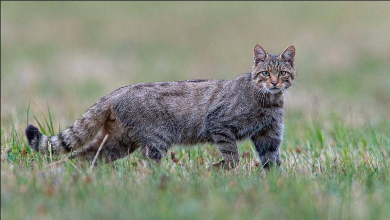 Comment appelle-t-on un chat domestique revenu à l'état sauvage ?