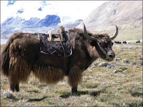 Connaissez-vous la femelle du yack ?