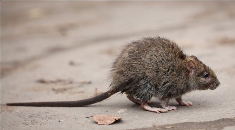 """Quel est le nom de madame """"Rat"""" ?"""
