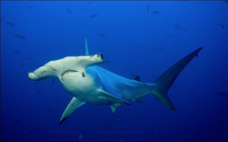 Quel type de requin apercevons-nous ici ?