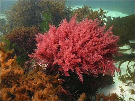 Quel est le nom de cette plante aquatique comestible ?