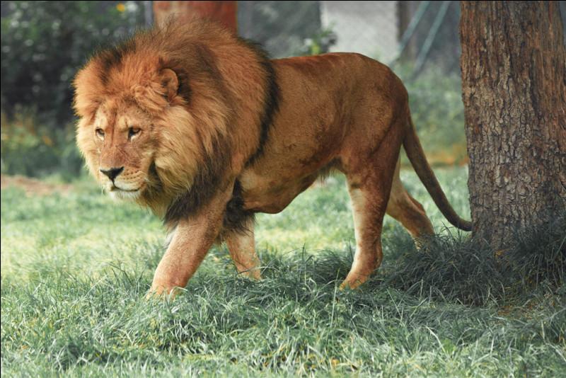 Le lion miaule !
