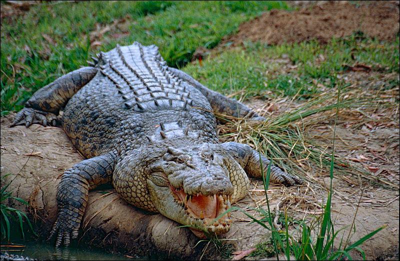 Le crocodile vagit !