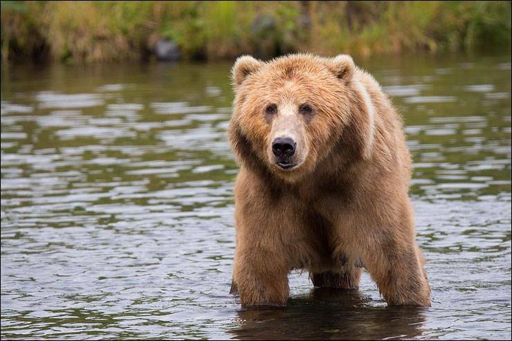 L'ours grommelle !