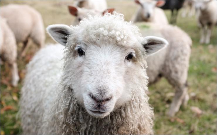 Le mouton bêle !