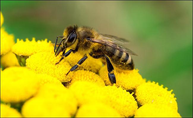 L'abeille bourdonne !