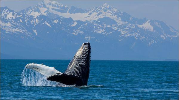 La baleine gronde !