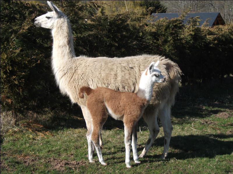 Le lama blatère !