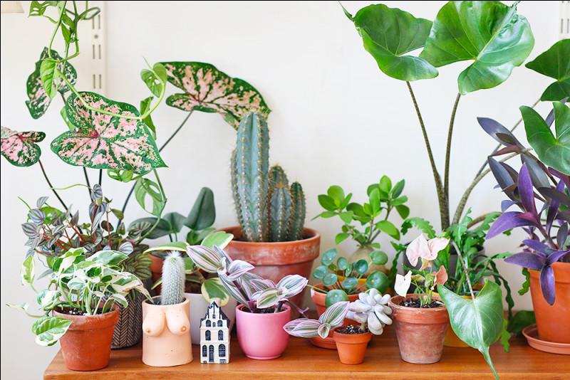 À quelle famille de plantes appartiennent les Opuntia ?