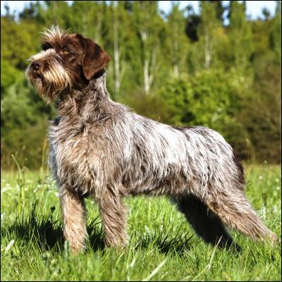 Quel monstre légendaire donne son nom à plusieurs races de chiens de chasse ?
