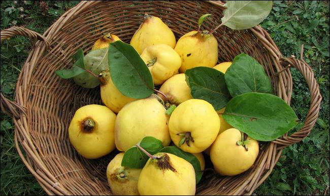 Le coing est le fruit du cognassier.