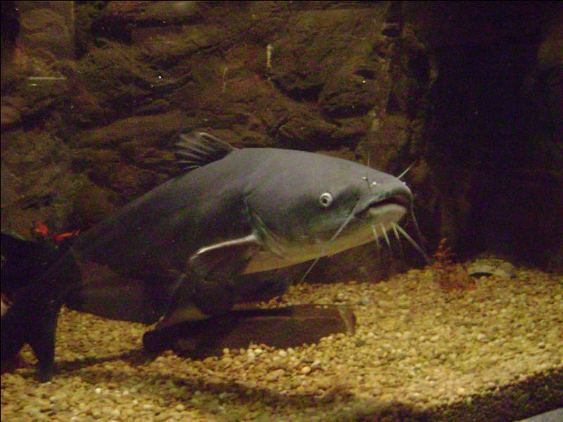 Quel type de poisson est connu pour mesurer jusqu'à 2,40 mètres de long, bien que cela ne soit pas confirmé ?