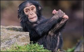 Lequel de ces animaux est le plus proche cousin du chimpanzé ?
