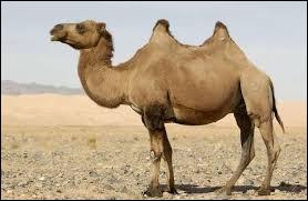 Comment s'appelle le cri du chameau ?