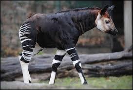 Quel est le cousin le plus proche de l'okapi ?