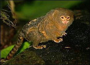 Quel est le plus petit de ces ouistitis ? (D'ailleurs le plus petit de tous les singes, mais non des primates)