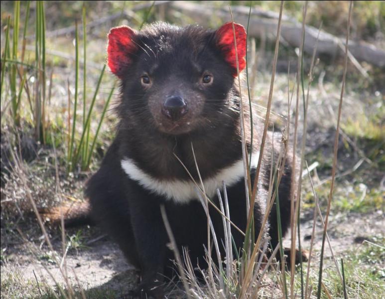 Combien de petits un diable de Tasmanie peut-il avoir au maximum ?